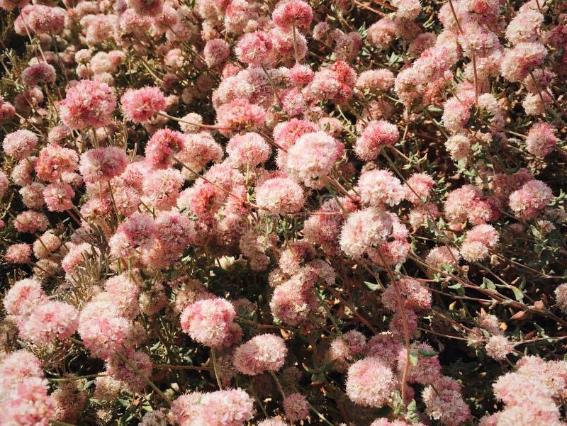 Runde rosa trockene Blumen stockbilder