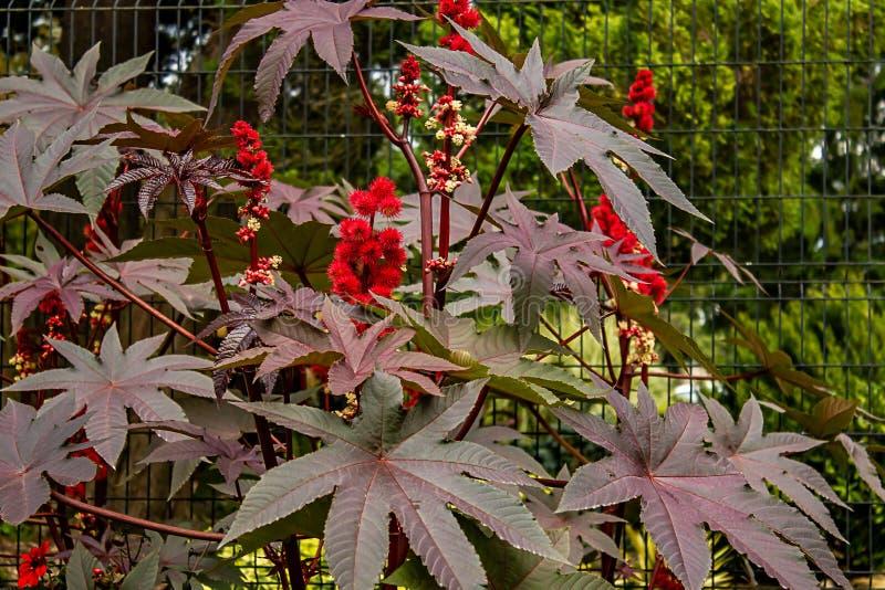runde rote Blüte auf purpurroter Anlage im Sommergarten lizenzfreie stockfotos