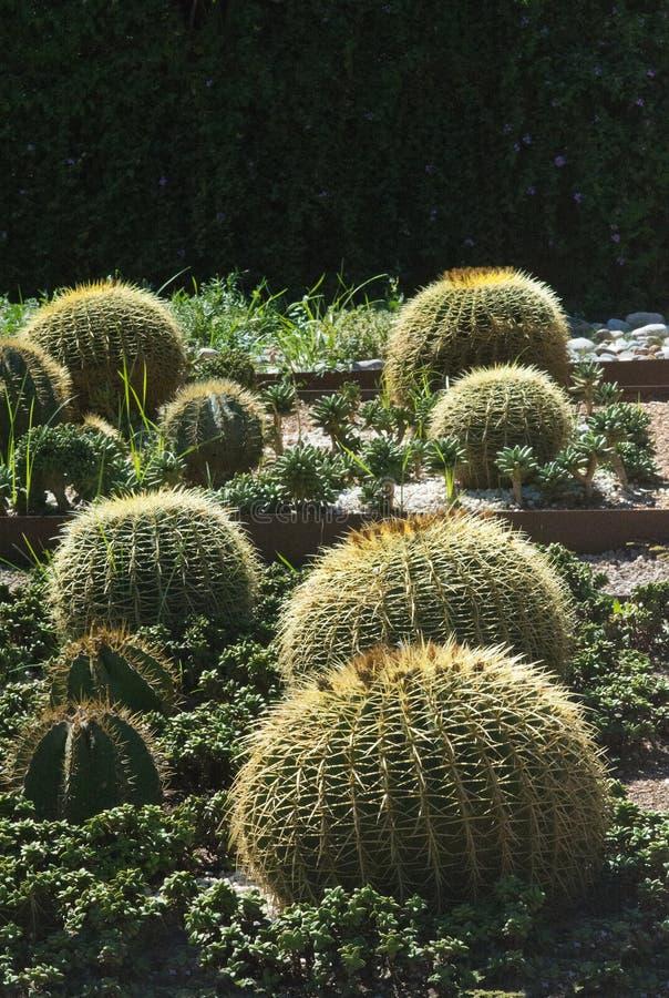 Runder Kissenkaktus in einem Blumenbeet stockfotografie