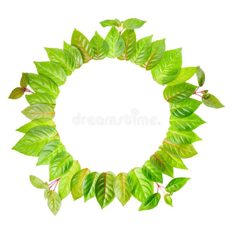Runder Rahmen von frischen grünen Blättern mit dem Zweig wird auf Weiß lokalisiert stockfotografie