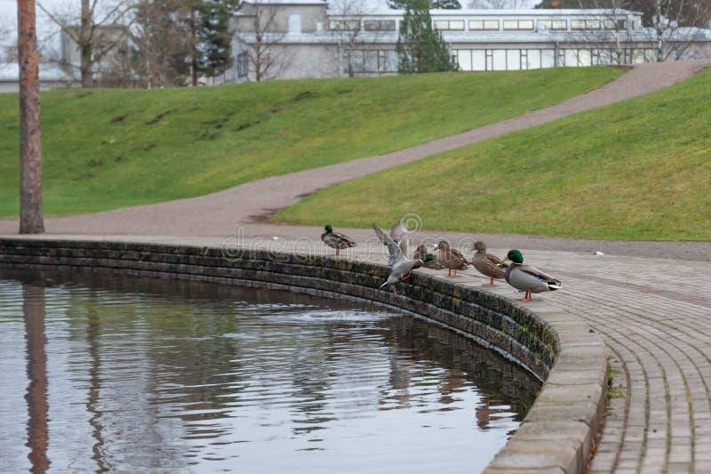 Runder Teich mit Enten in Finnland am Herbst stockfoto