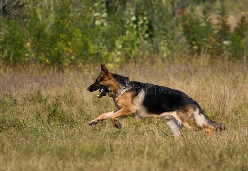runing τσοπανόσκυλο στοκ εικόνες