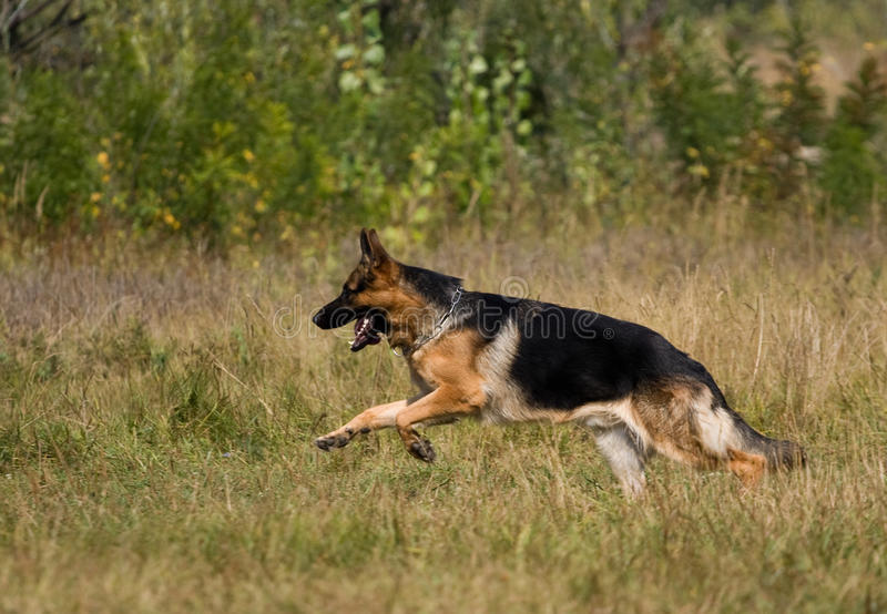 Runing sheepdog stock images
