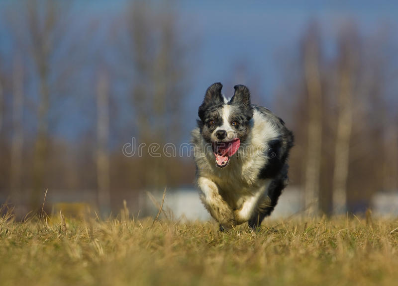 Download Runnig dog stock image. Image of tongue, collie, cute - 25153603