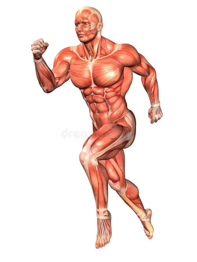 Download Running anatomical man stock illustration. Image of background - 13259778