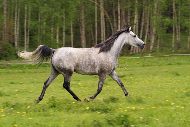 Running Arabian horse, Shagya arab stock images