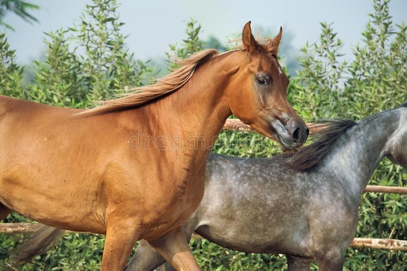 Running arabian horses in the paddock royalty free stock photo