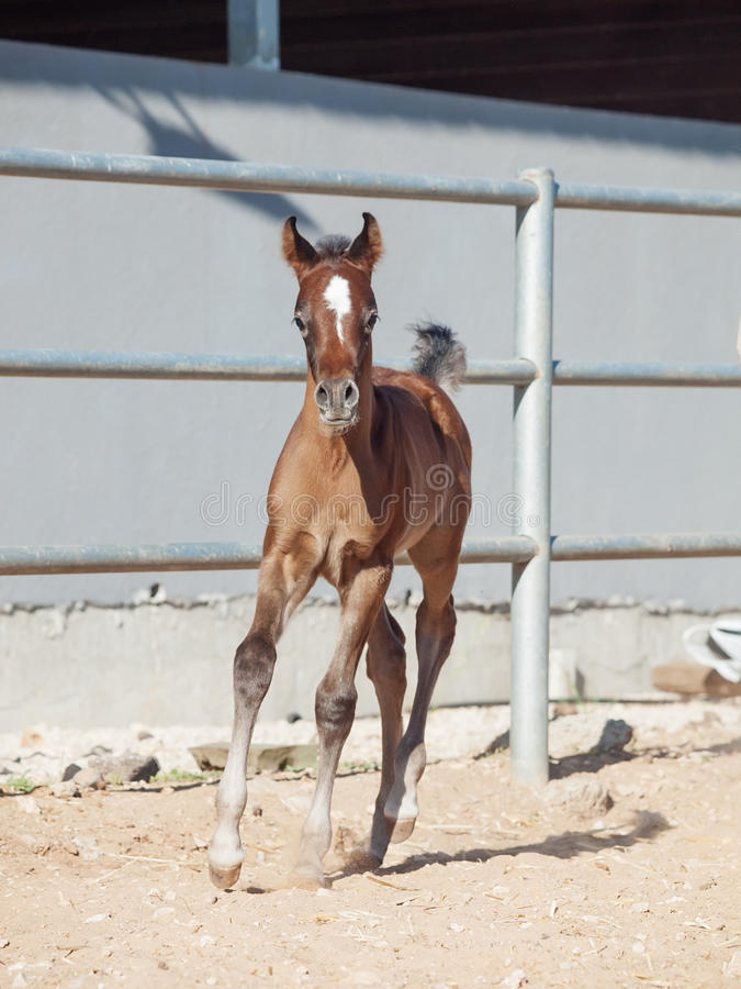 Running arabian little foal. Israel royalty free stock image