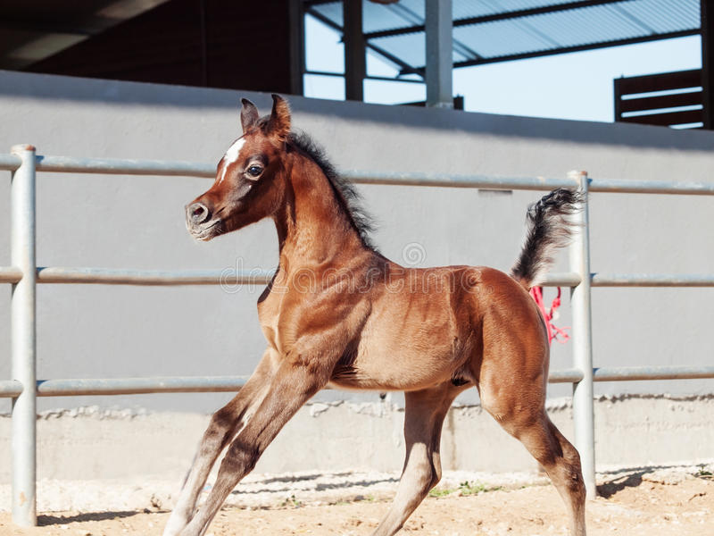 Running arabian little foal. Israel royalty free stock photography