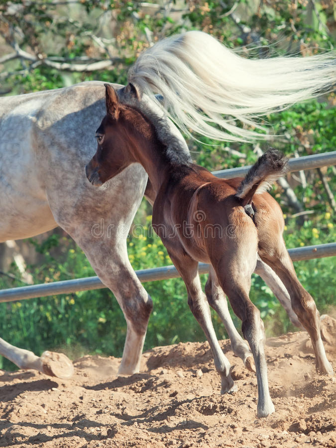 Running arabian little foal with mom. Israel stock image