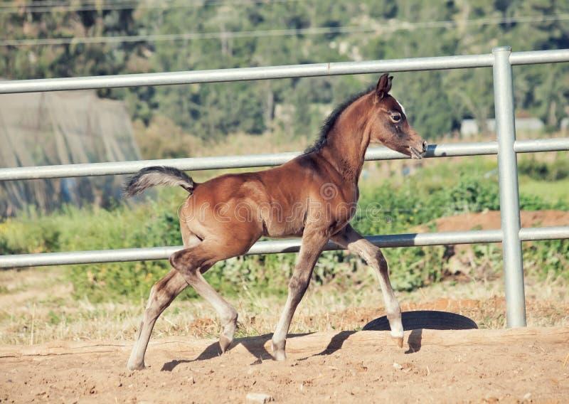 Running arabian little foal in paddock. Israel stock images
