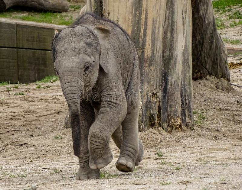 Running baby elephant royalty free stock images