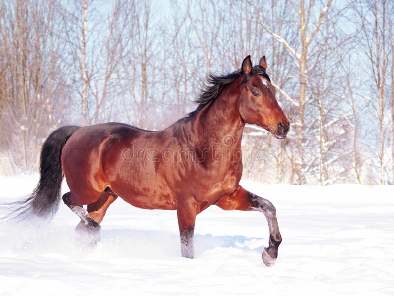Running bay horse at snow field stock photos