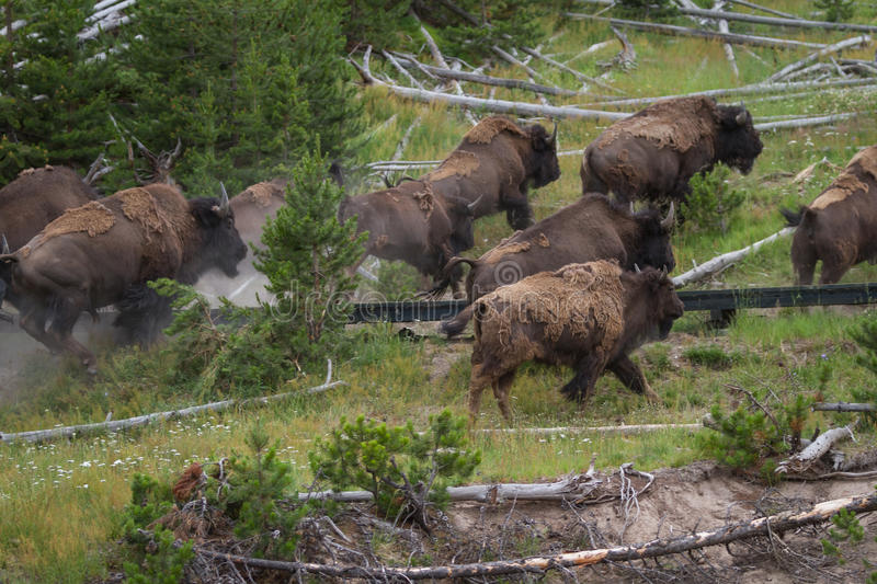 Running bison heard royalty free stock image
