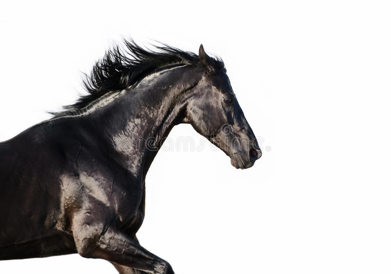 Running black trakehner stallion at white background.  stock image
