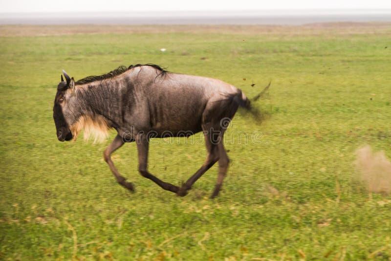 Running blue wildebeest in Ngorongoro Conservation Area royalty free stock image