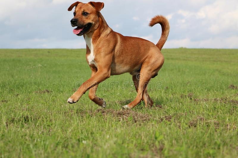 Running brown mixed dog in the park royalty free stock photography