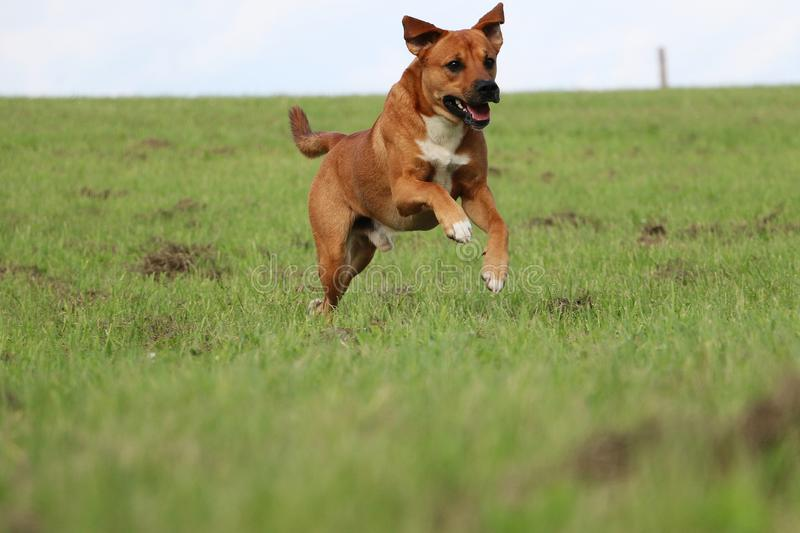 Running brown mixed dog in the park. Funny brown mixed dog is running in the garden royalty free stock photos