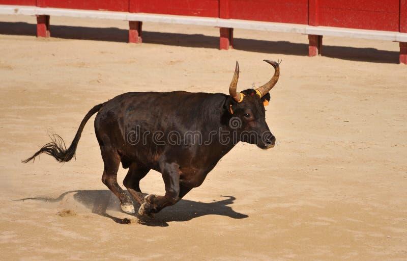 Running bull stock photo