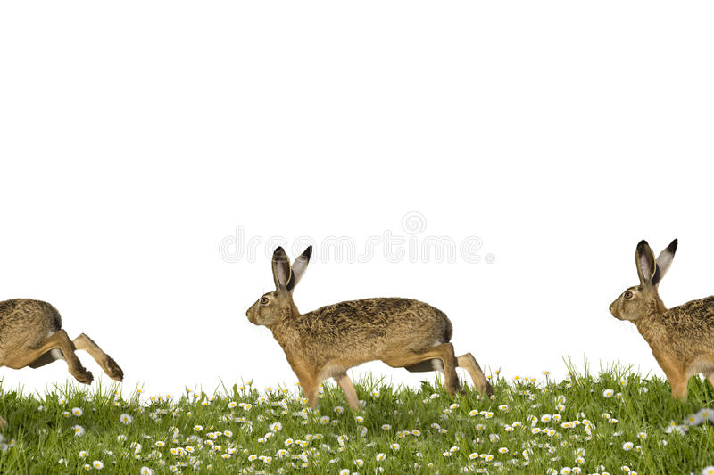 Running bunny. Three Easter bunnies running across a field of flowers royalty free stock photos