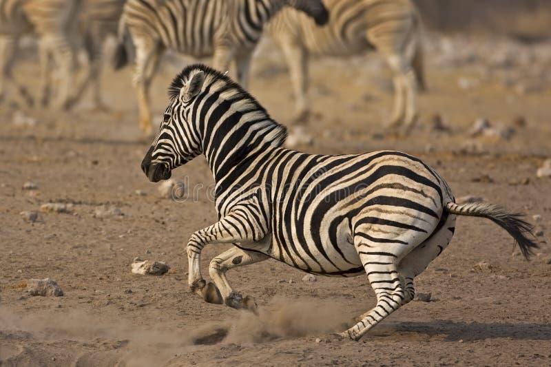 Running Burchells Zebra royalty free stock images