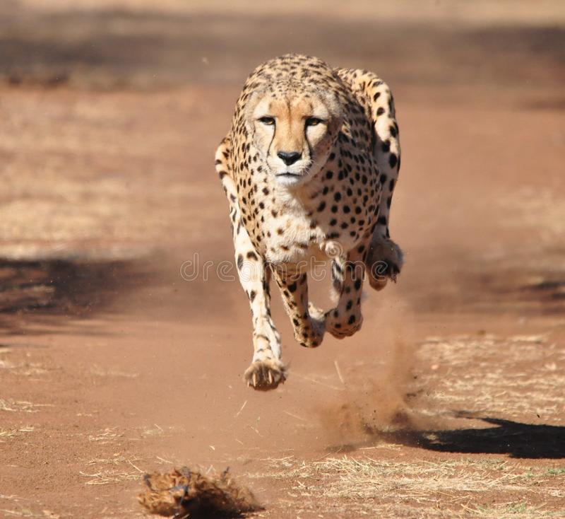Running cheetah. Exercising a cheetah with a lure royalty free stock photography