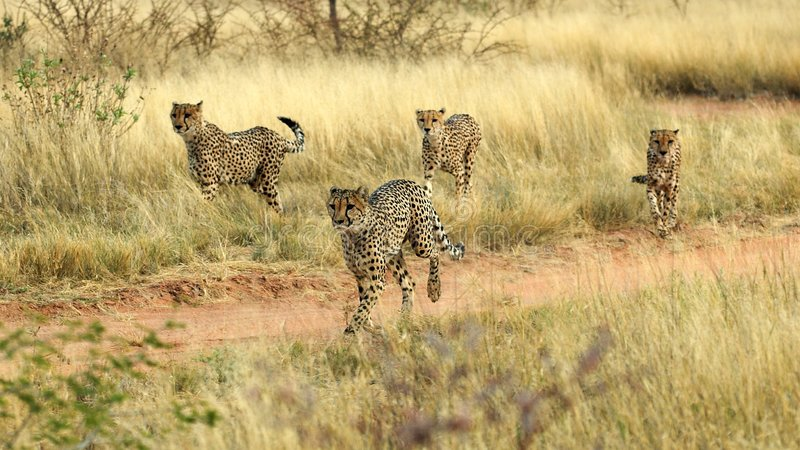 Running cheetahs stock image