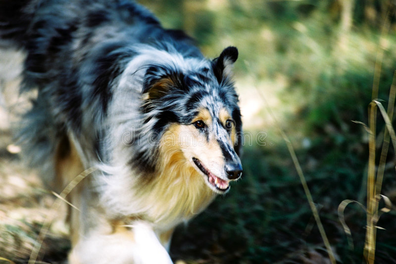 Download Running collie stock image. Image of fast, blue, sprint - 107043