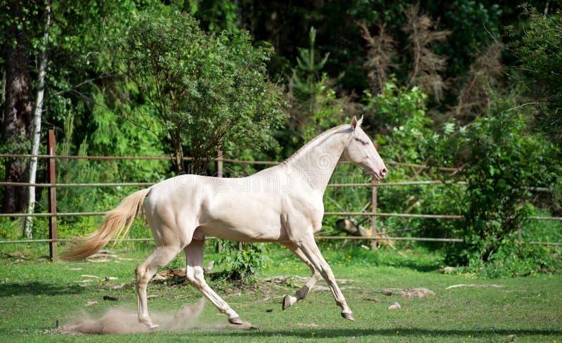 Running creamello purebred akhalteke stallion in paddock.  stock images