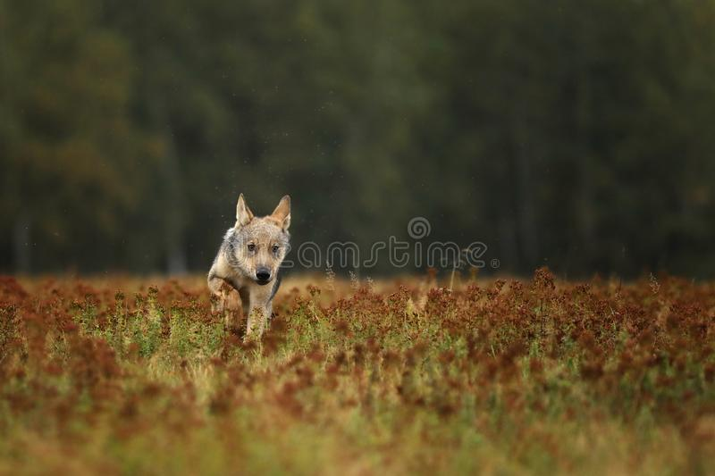 Puppy of Grey wolf running on colorful meadow - Canis lupus stock photos