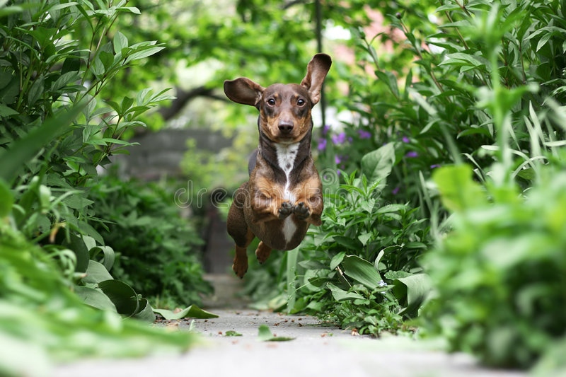 Running Dachshund Stock Photo