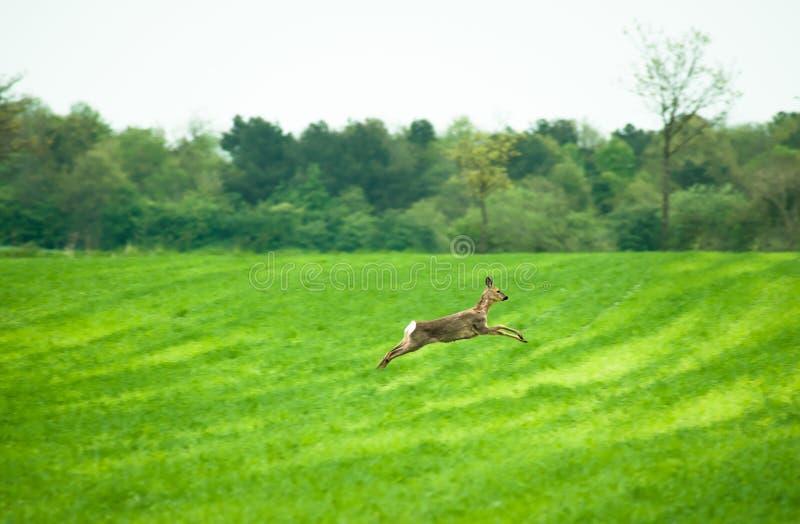 Running deer. Deer running across a field in daytime royalty free stock photography