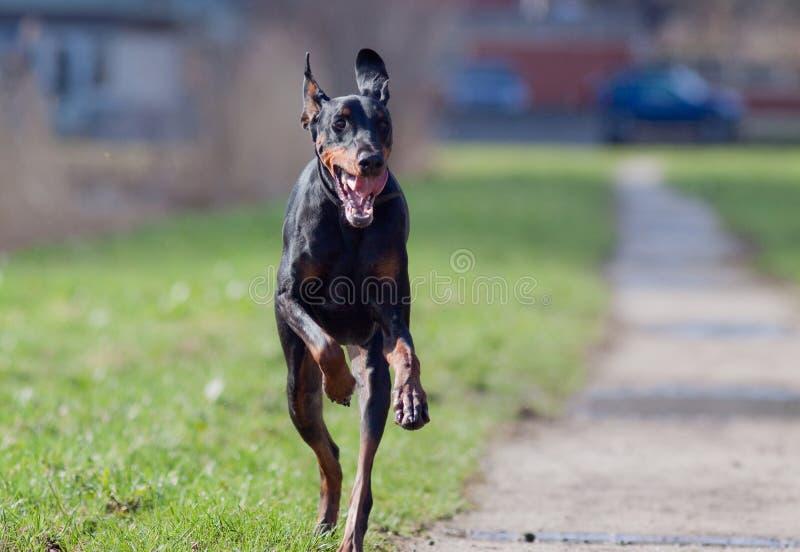 Download Running dog stock image. Image of grass, animal, running - 14200931