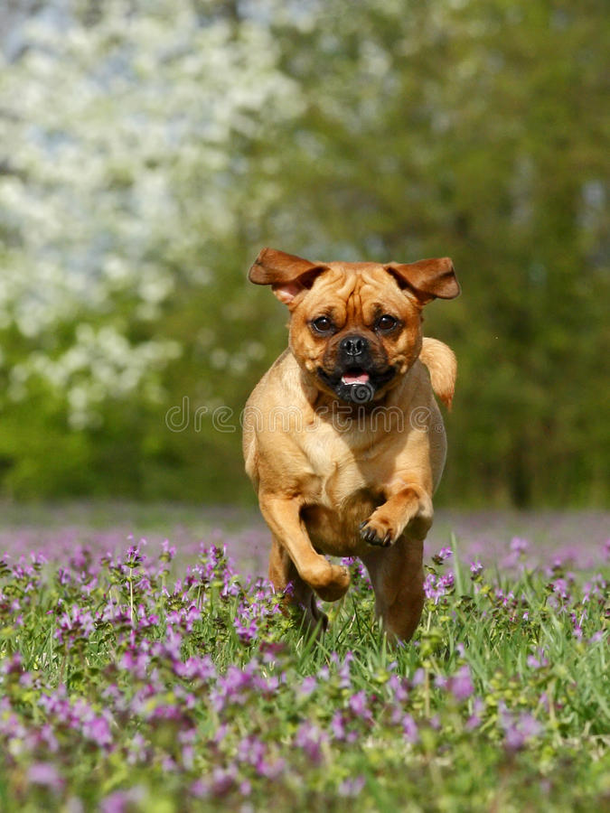 Download Running dog stock photo. Image of action, grass, puppy - 20616646