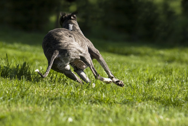 Running Dog Stock Images
