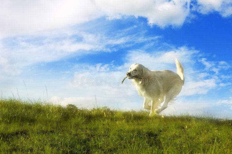 Download Running dog stock photo. Image of happy, purebreed, moving - 7741986