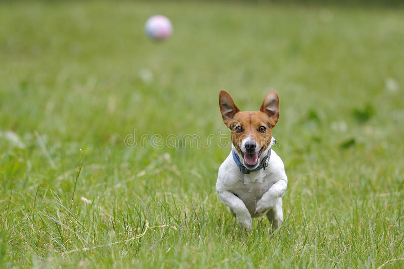 Download Running dog for a ball stock image. Image of ball, outdoor - 25112083