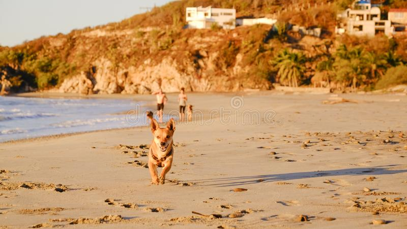 Cute small dog running at the beach during sunset Pochutla, Oaxaca, Mexico stock photos