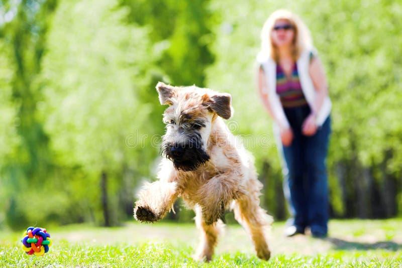 Running dog on green grass royalty free stock photo