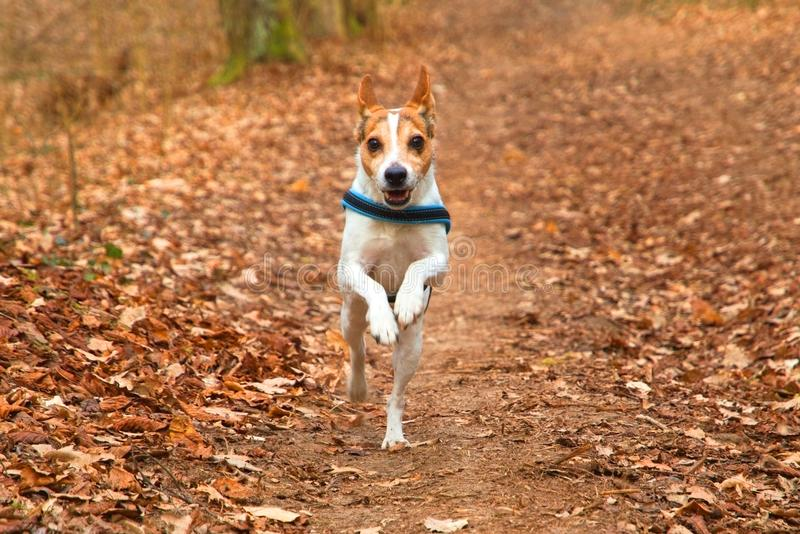 Directly running dog Jack Russell Terrier with collar in leafy forest in autumn royalty free stock photography