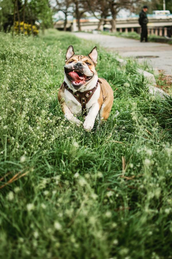Running dog outdoors on sunny summer day. Funny smiling English bulldog. Cute Young english bulldog playing in green grass. Happy stock photo