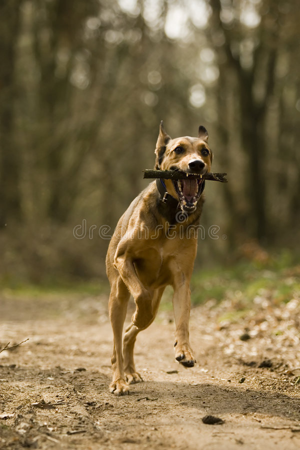 Running dog with stick stock photography