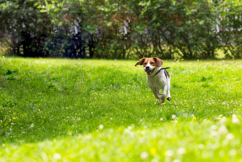 Running dog in summer garden. Running dog in summer green garden royalty free stock photography