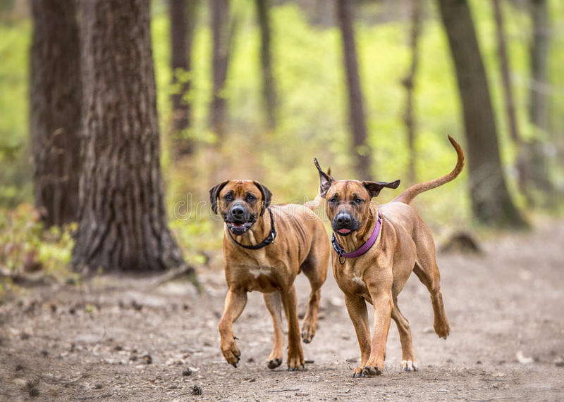 Running dogs stock photo