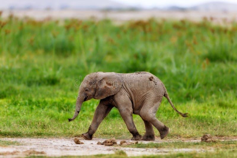 Running Elephant calf royalty free stock photos