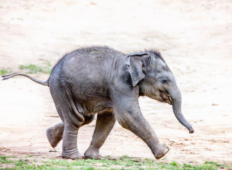 Running elephant calf stock images