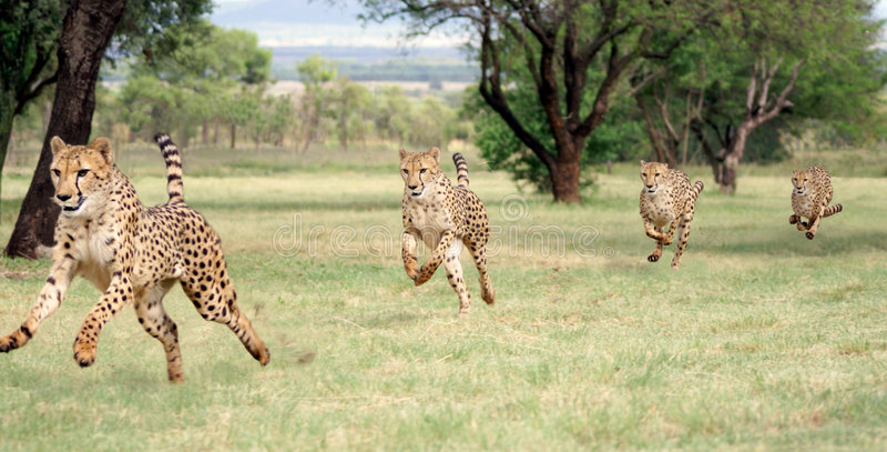 running följd för cheetah royaltyfri foto