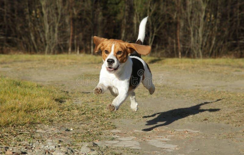 running för höstbeaglepark royaltyfri fotografi