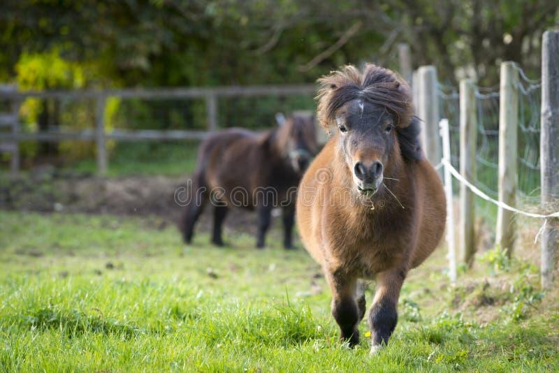 Running för två ponny en in mot på ny grön äng arkivfoton