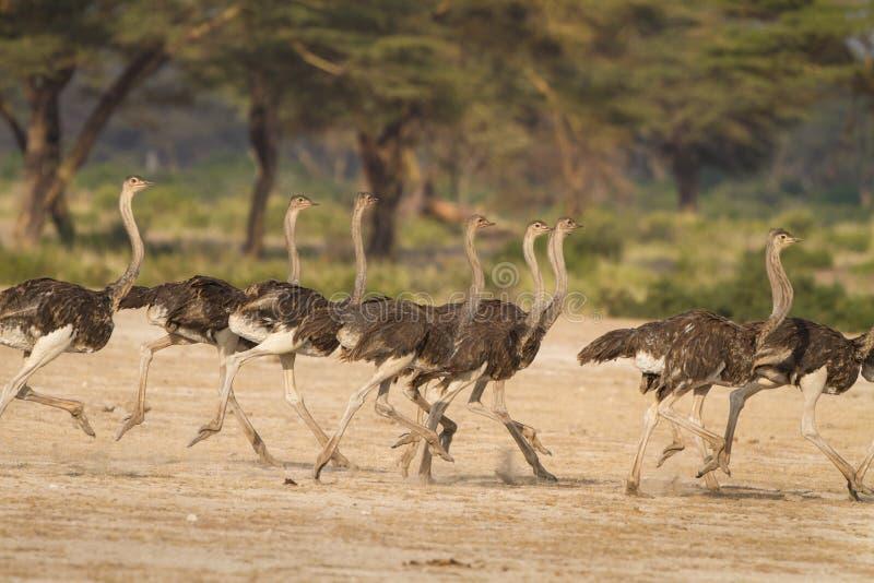 Running flock of ostriches in Africa. Flock of ostrich run together fleeing a predator in Tanzania, Africa stock photos